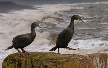 get together: A male and a female shag get together at mating time on the Farne Islands, Northumberland, England.