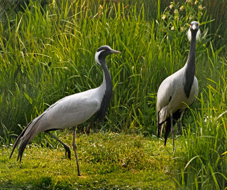 Demoiselle Cranes inhabit Eastern Europe and mid Asia in summer and migrate south to Africa, India and Pakistan in winter. Standard-Bild