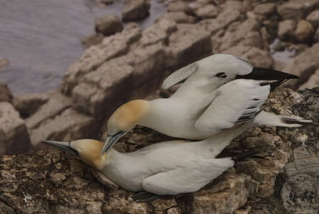 look after: Northern Gannets come ashore during the summer months and live on islands and cliffs around the British Isles whilst they breed and later look after their chicks.  Stock Photo