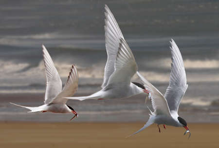 seabirds: Arctic Terns return with their catch to feed their young by the coast of Northumberland, England