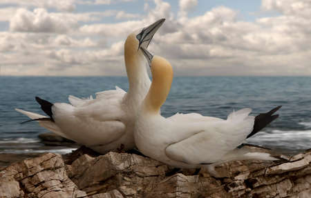 british isles: Northern Gannets gather together every summer at various locations around the British Isles to breed and then to look after their young