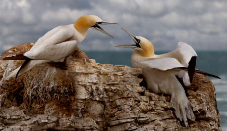 neighbours: Northern Gannets often build their nests close to each other and then tend to have disagreements with their neighbours  Stock Photo