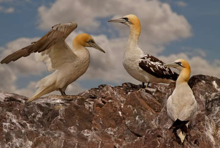 seabirds: Northern Gannets gather together at the island of Bass Rock close to the Scottish coast