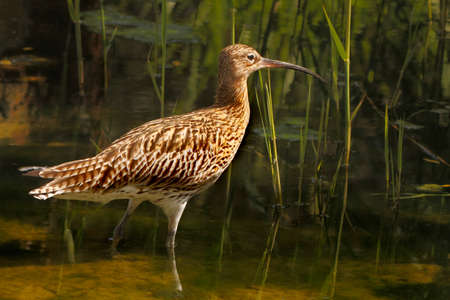 wader: An adult male Curlew in the shallow water of a pool in Norfolk England  Stock Photo