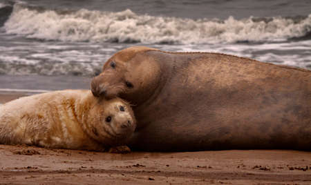 nook: A female Atlantic Grey Seal with her pup on the sands at Donna Nook in Lincolnshire, England.