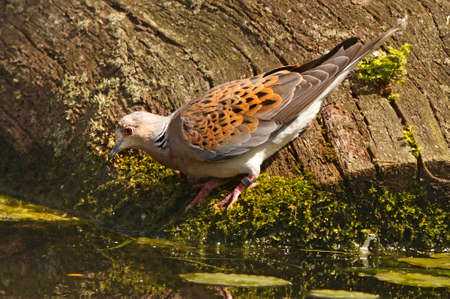 turtle dove: The Turtle Dove is a summer visitor to England, and is more common in Southern Europe, and in winter further south in Africa.