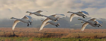 Whooper Swans arive from Iceland to their winter home at Martin Mere in Lancashire, England.