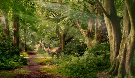 fallow deer: Three Fallow Deer looking alert for danger, in a forest in Staffordshire, England.