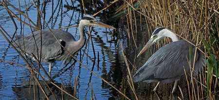 get together: A pair of Grey Herons get together in the reed beds at Martin Mere in Lancashire, England.