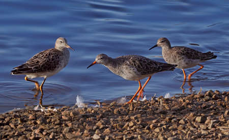 mere: Three Ruffs along the shore of a pool at Martin Mere in Lancashire, England.