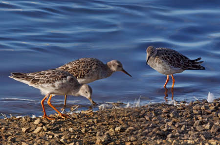 mere: Three Ruffs get together by a pool at Martin Mere in Lancashire, England.