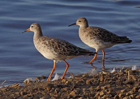 mere: Two female Ruffs by a lake at Martin Mere in Lancashire, England