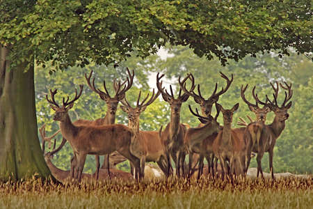 herd deer: A herd of Red Deer, Englands largest wild animal, in Yorkshire.