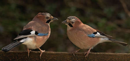 get together: Jays are the most colourful members of the Crow family. Here a male and a female get together in woodland in Staffordshire, England. Stock Photo