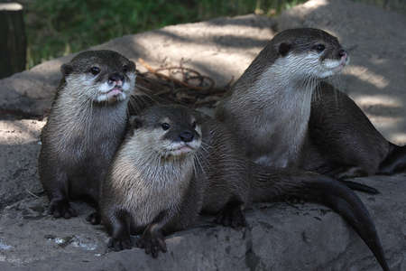 smallest: The Oriental Small Clawed Otter is the smallest of the otters and is native to South East Asia. Stock Photo