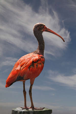 The Scarlet Ibis are wading birds of the Heron family and are native to South America. photo