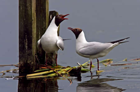 lancashire: A male and a female Black-headed Gull get together at Leighton Moss in Lancashire, England.