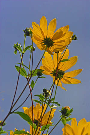woderful: The Perennial Sunflower makes a woderful display in any garden. It has the Latin name Helianthus.