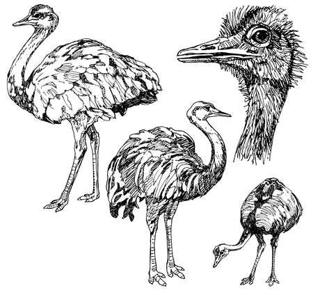 flightless: Set of hand drawn ostriches.