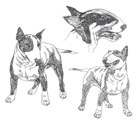 Set of hand drawn dogs. Bull terrier. Vector illustration.