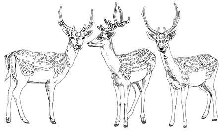 damhirsch: Hand gezeichnet Hirsche. Vektor-Illustration.