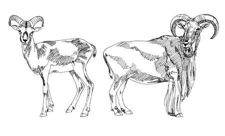 capra: Hand drawn Bighorn Rams. Illustration
