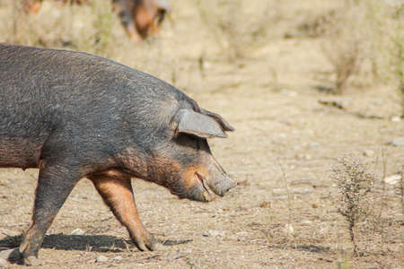 pig looking for food in the meadow of a farm Stok Fotoğraf