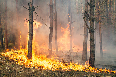 fire hazard: Development of forest fire. Flame is starting trunk damage Stock Photo