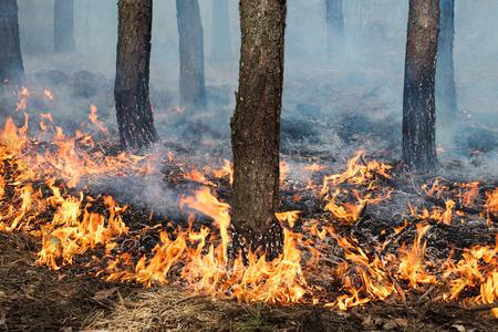 松の台で安定した地上の火災。 トランクや火炎の地面 写真素材