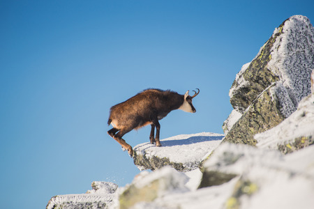 Tatra chamois (rupicapra rupicapra tatrica) in mountains with blue sky background. High Tatras, Slovakia, Eastern Europe. Stock Photo
