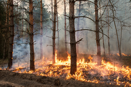 Forest fire. Using firebreak for stoping wildfire 写真素材