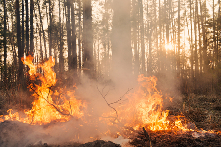 prescribed: Forest fire. Big flame moves to crown and starting to damage the trunk