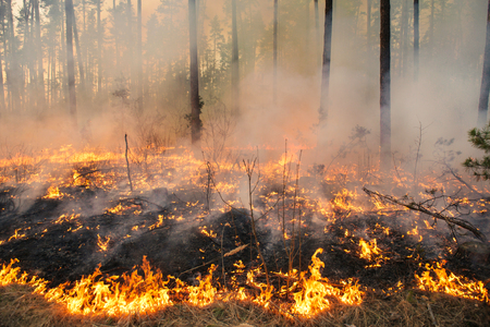 carbon emission: Forest fire in pine stand on sunset background. Whole area covered by flame Stock Photo