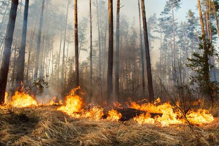 Bosbrand en wolken van donkere rook in grenen stands. Flame begint de romp beschadigen. Hele gebied onder vuur Stockfoto