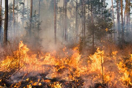 Grote bosbrand en wolken van donkere rook in grenen stands. Flame begint de romp beschadigen. Hele gebied onder vuur