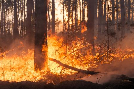 Bosbrand en wolken van donkere rook in grenen stands. Hele gebied onder vuur