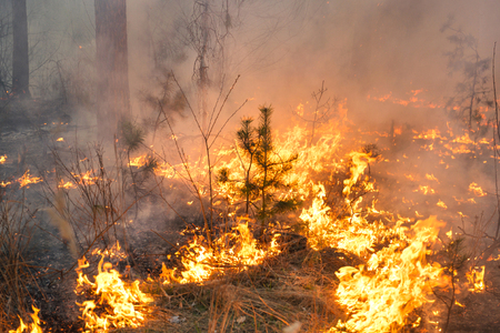 prescribed: Forest fire and clouds of dark smoke in pine stands Stock Photo