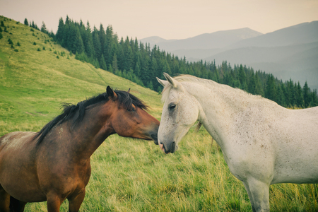 animales del bosque: Wild white and brown horses touching each other in Carpathian mountain Foto de archivo