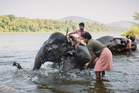 periyar: Kodanad, India - December 23, 2016: Workers of Kodanad elephant training centre washing elephants in Periyar river. People care out for elephants. Kerala, India. Editorial