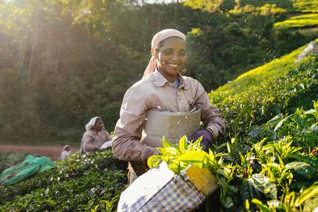 organic farming: Munnar, India - December 17, 2015:  Woman picking tea leaves in a tea plantation Munnar, Kerala, India.