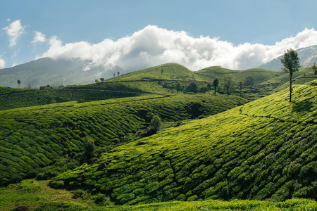 munnar: Green tea plantation hills with blue sky on background in Munnar, Kerala, India. Beautiful mountain landscape