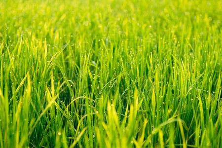 alappuzha: Close up of green rice field