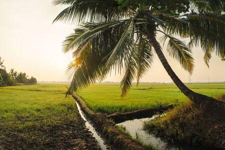 alappuzha: Landscape of green rice field in Alleppey, Kerala