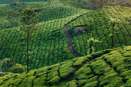 Munnar tea plantations in early morning at sunrise. Kerala, India Stock Photo