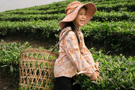 Sapa, Vietnam - April 17, 2016: Happy and positive vietnamese girl working on tea plantation and picking tea leaves to basket with hands. Children labor and works are popular in Asia