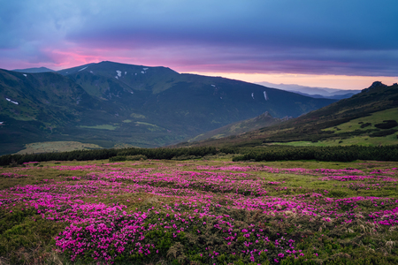 Beautiful mountain landscape with blossoming pink meadows with dramatic sky before rain in Carpathian mountains
