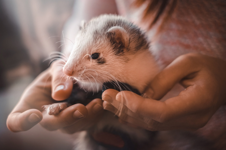 Portrait of cute and tired domestic pet ferret resting in her owners hands. Woman and a pet concept.