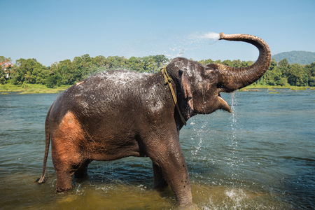 Elephant washing on southern banks of the periyar river at Kodanad training center