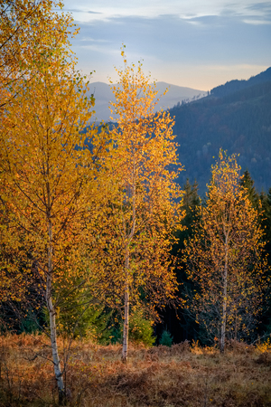 Mountain autumn forest, hills, yellow trees and foggy landscape at sunrise