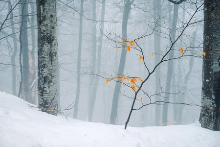 Young tree with yellow leaves on a snowy forest background at misty daytime.